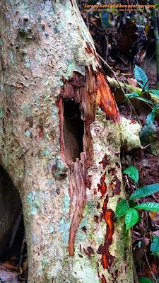 Gambar sebatang pokok yang ada madu sarang kelulut dicakar beruang untuk dapatkan madu kelulut