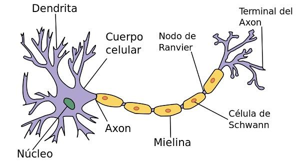 funcion del axon terminal de la neurona