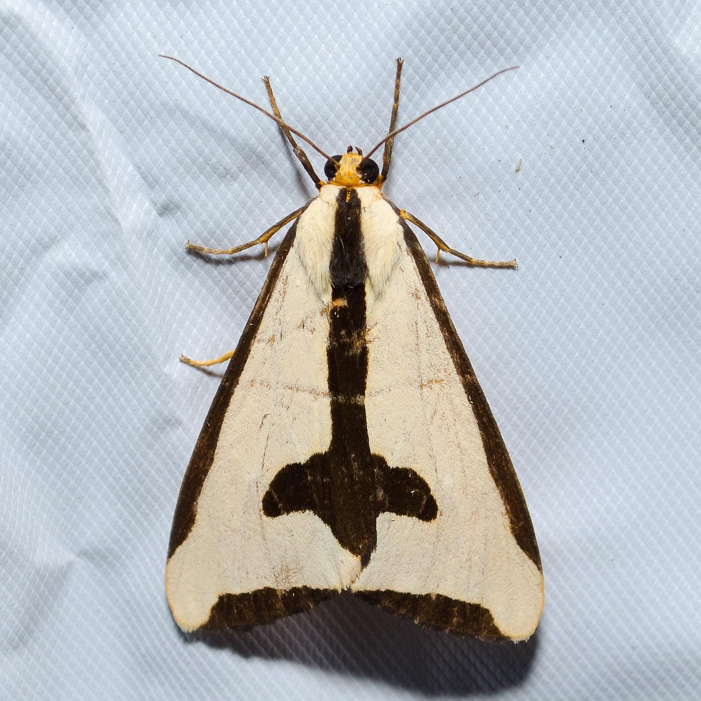 Clymene Moth, Haploa clymene
