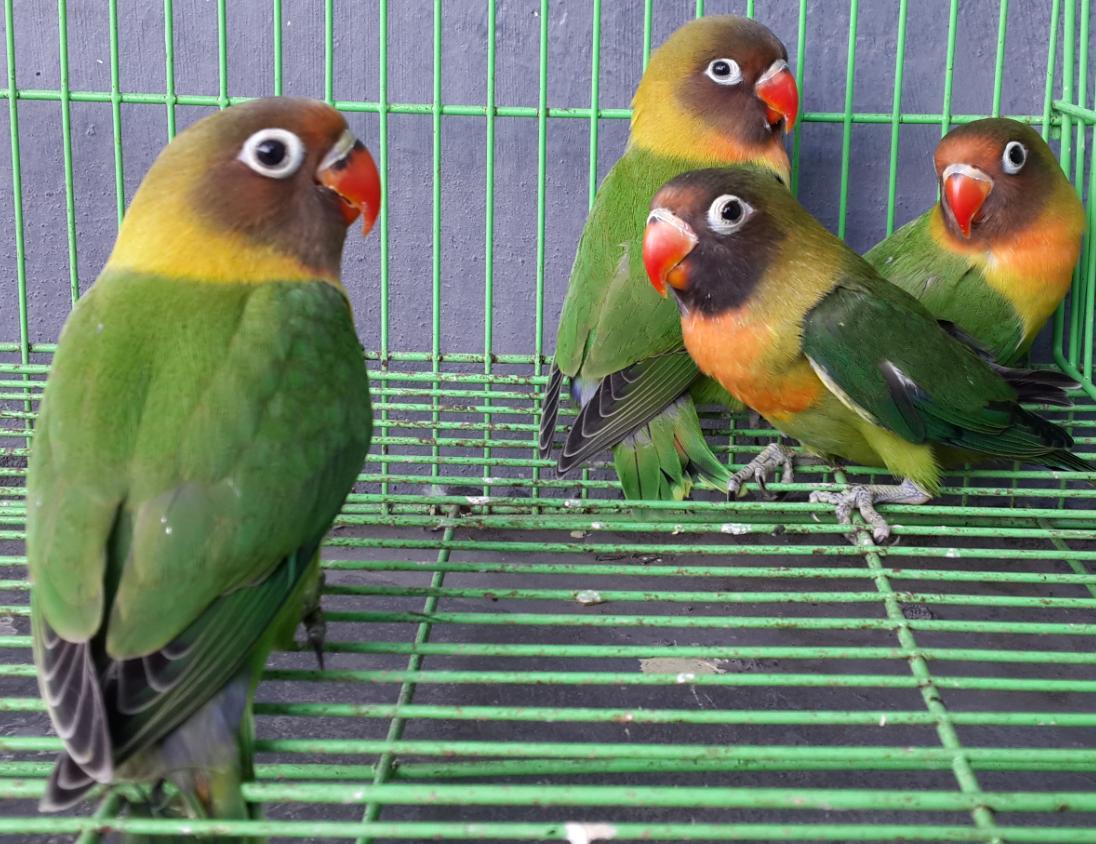 Harga dan Gambar Jenis  Lovebird Hijau Standard atau Lb