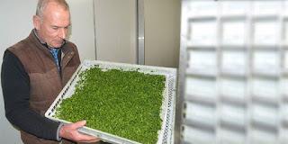 brokoli tozu, brokoli tozu nedir, nasıl yapılır, brokoli tozu üretimi, brokoli tozu brokoli tozu faydaları, KahveKafe