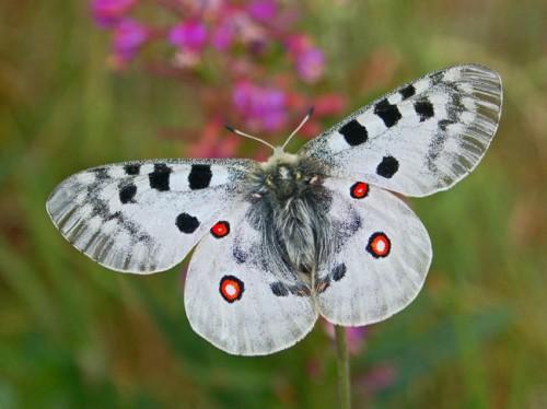 Đừng lo lắng khi có điềm báo bướm bay vào nhà