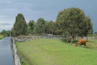 usaha peternakan sapi pedaging