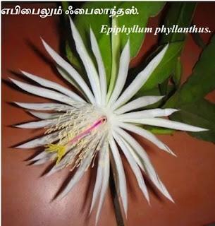 Epiphyllum phyllanthus flower
