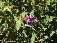 Princess flowers - Wellington Botanic Garden, New Zealand