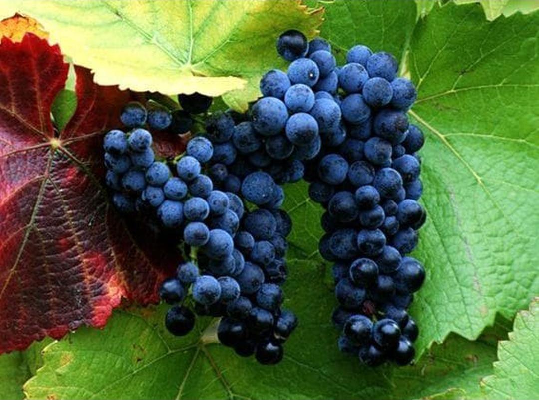 Jaminan Mutu! 10 benih biji buah anggur ungu Kota Bogor #bibit buah genjah