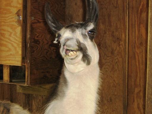 Cute Llama Wallpaper Desktop Funny Looking Llama Funny Animal