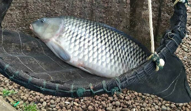 Trik Mancing Ikan Mas Babon Harian, Galatama, Dan Lomba