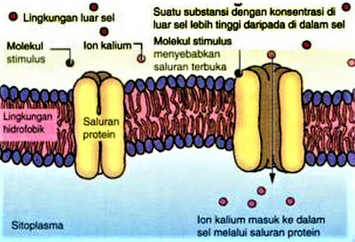 Difusi dipermudah dengan saluran protein