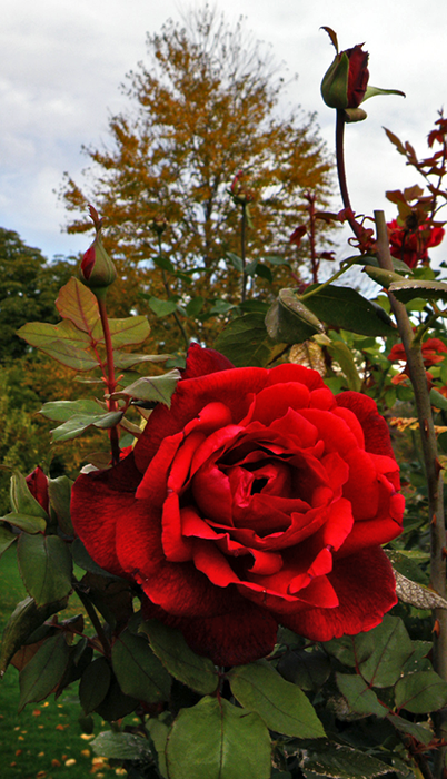Red Rose with Yellow Leaves and Cloudy Sky in Background