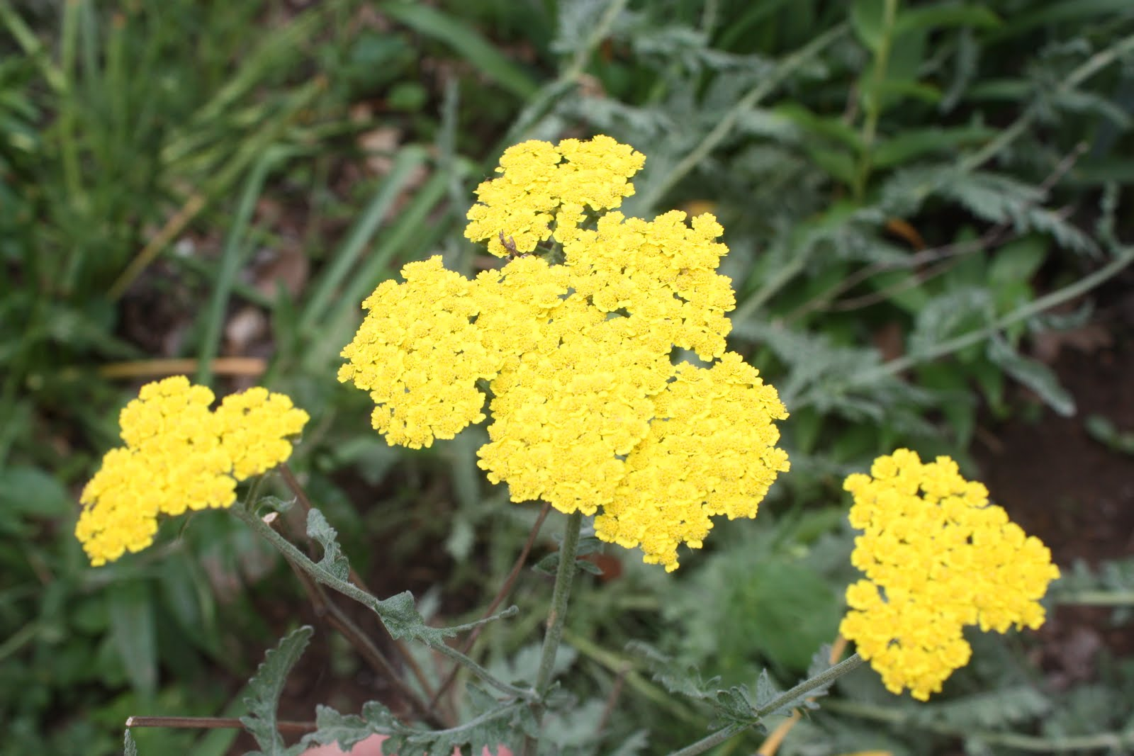 yarrow flower - photo #12