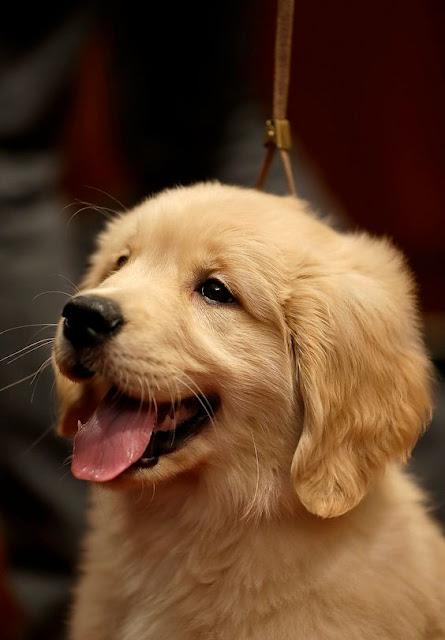 Golden Cute Puppies