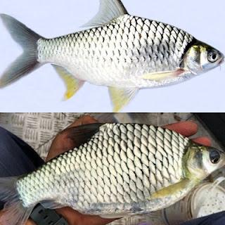 Tawes Ikan Sungai Brantas
