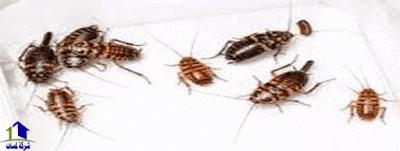 مكافحة الصراصير,التخلص من الصراصير,القضاء على الصراصير المنزلية