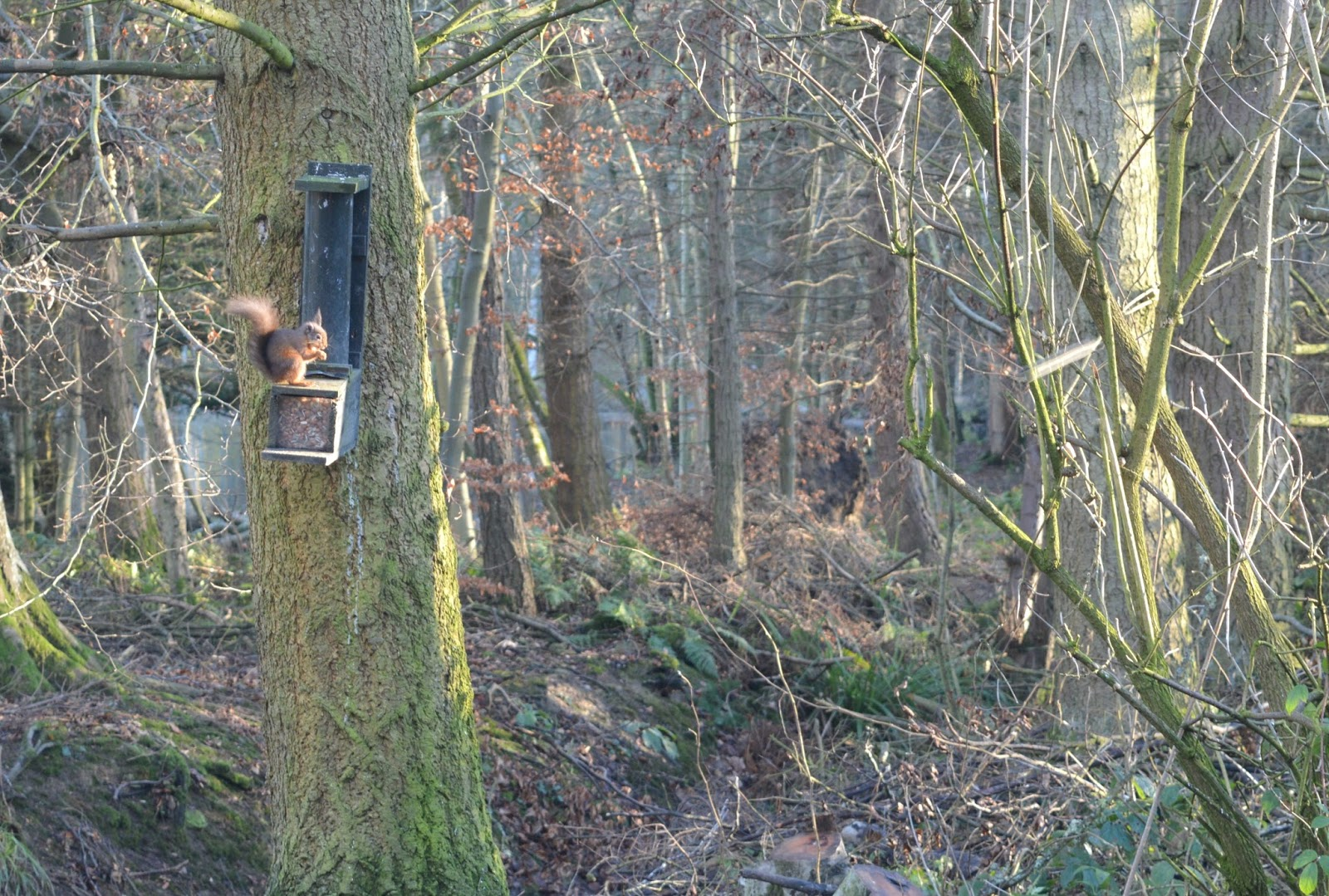 Wallington, National Trust - Red Squirrel