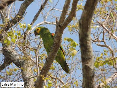 papagaio verdadeiro, aves do brasil, engenheiro ambiental, natureza, ninhos, pássaros, aves, papagaios do brasil, meio ambiente, birds, extinção, natureza e conservação, animais, preservação da natureza, por que preservar as espécies