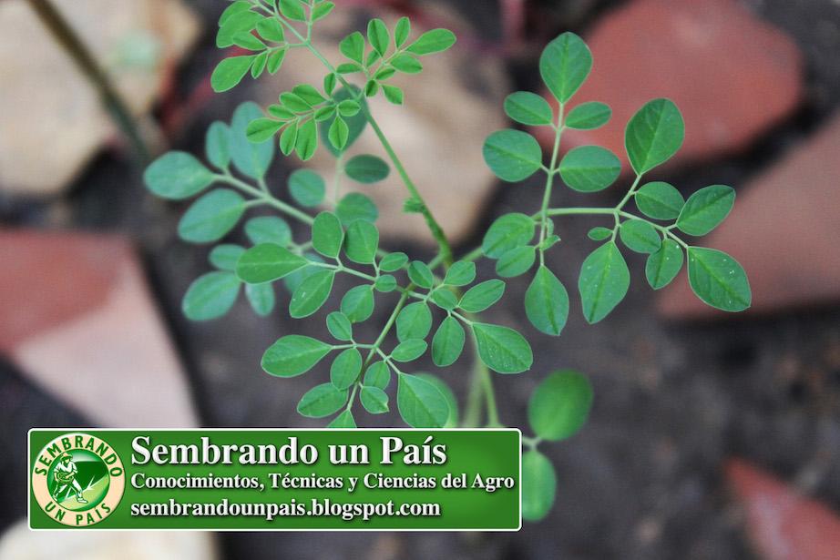 Planta de Moringa pequeña