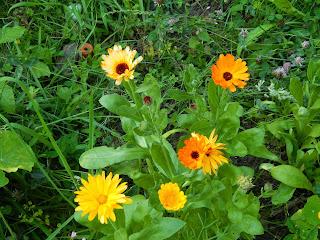 Vegan Gärtnern Ringelblume
