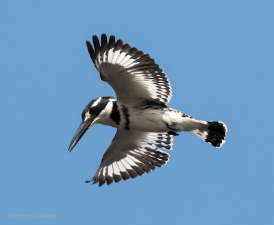 Early morning Pied King Fisher - Woodbridge Island 01