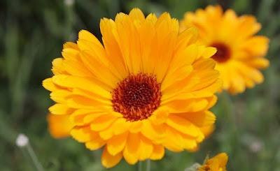 Calêndula ou maravilha, características e cultivo
