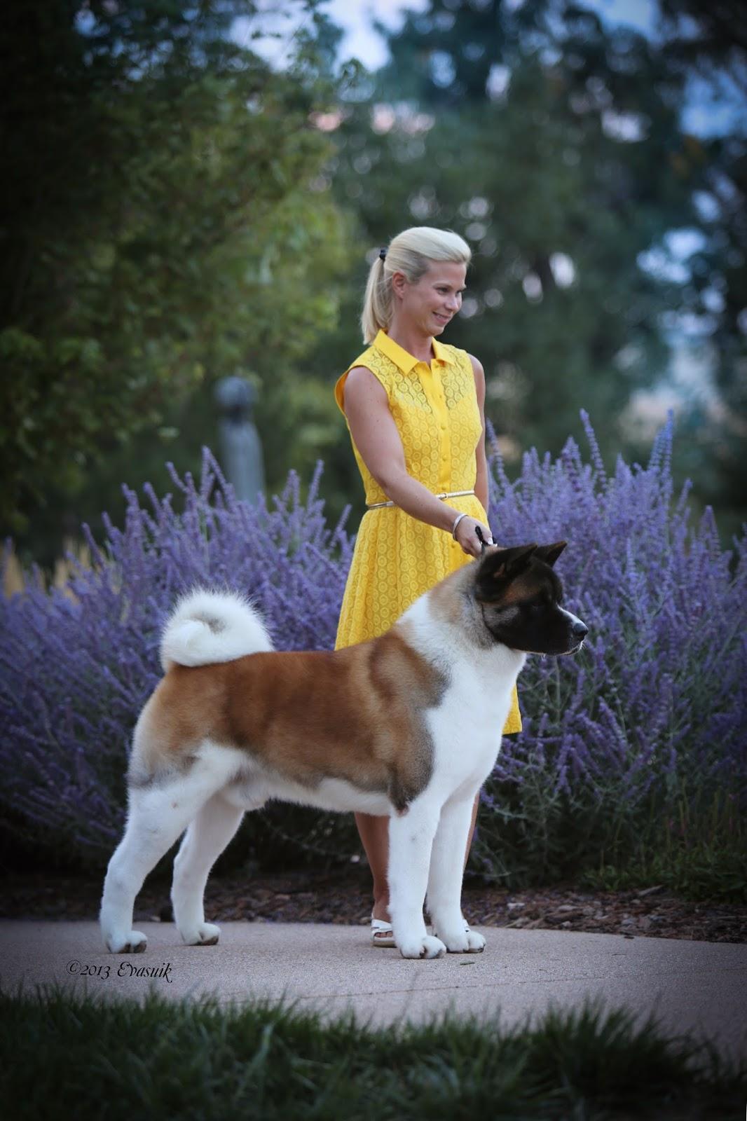 2014 Westminster Dog Show Poodle