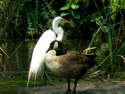 Great Egret and Canadian Goose