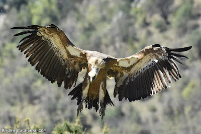 Voltor comú aterrant