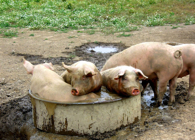 pigs in water