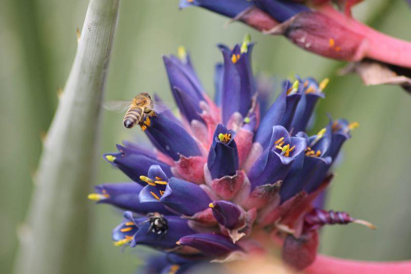 Puya coerulea. Jardín de Chile. Jardin plantas clima mediterráneo (Domaine du Rayol) diseño: Gilles Clement