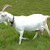 Some Popular Dairy Goats
