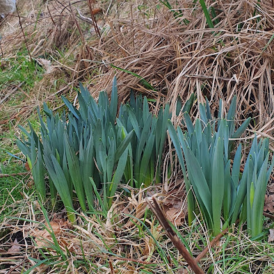Image of daffodils growing up through grass at the side of a road. No buds yet, but life