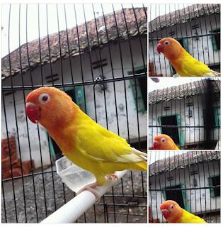 Harga Sepasang Lovebird Lutino