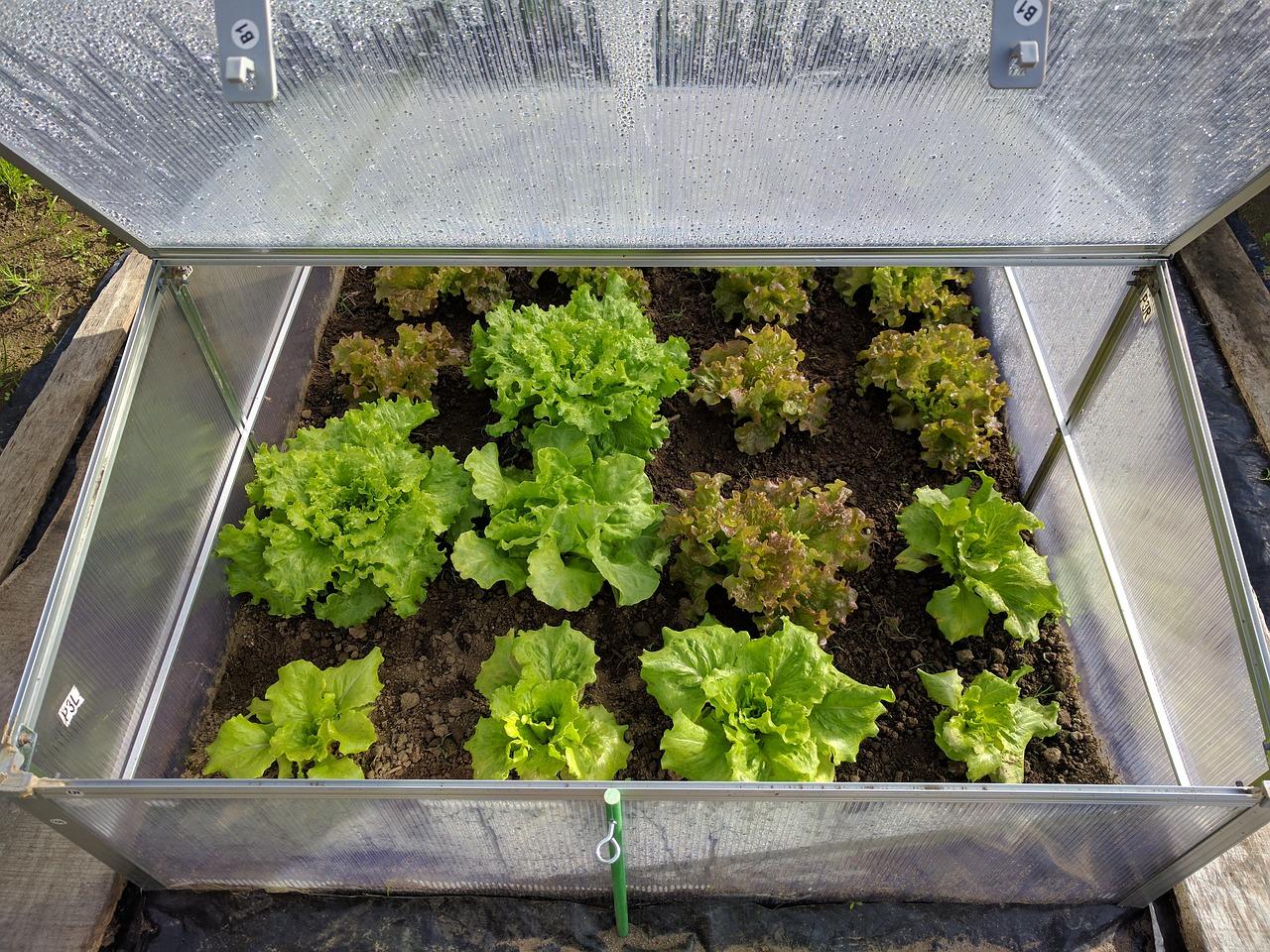 vegetables, lettuce