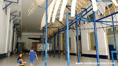 kerangka ikan paus museum zoologi bogor