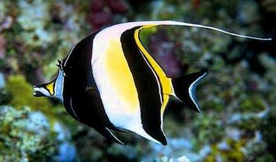 Koleksi Gambar Ikan Hias cantik