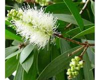 Bunga Kayu Putih