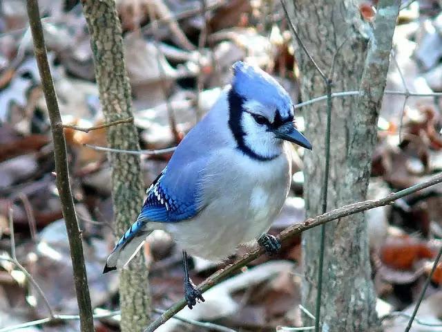 Blue-Jay-HD-Bird-IMage