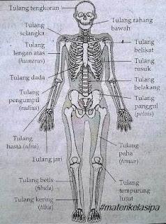 Bagian - bagian tulang pada sistem gerak manusia