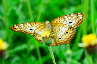 Wild Butterfly in Puriscal