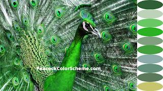 peacock colors, peacock color scheme