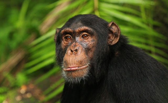 Genome sequencing reveals ancient interbreeding between chimpanzees and bonobos