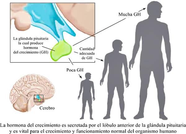 Hormona del crecimiento - características, funciones, deficiencia y exceso