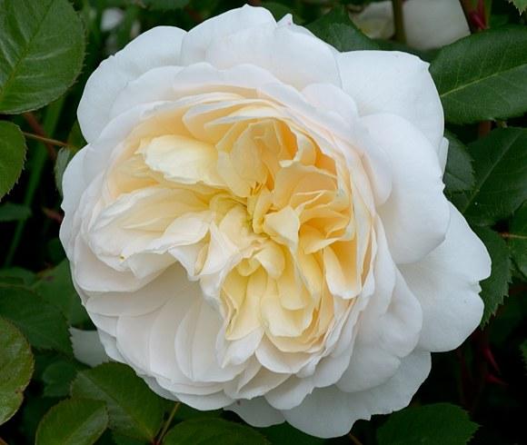Crocus Rose сорт розы фото купить саженцы Минск