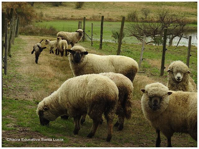 Rebaño de ovejas- Chacra Educativa Santa Lucía