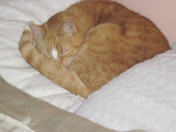 Photo of an orange and white cat curled up on a white bedspread / MAY NOT BE REPRODUCED IN ANY FORM