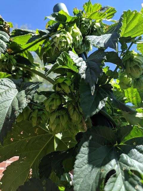 2019 Fresh hop pale ale recipe