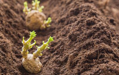 kentang berkembang biak dengan umbi batang