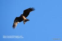 トビの飛翔シーンの写真