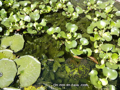 Cola de zorro (Ceratophyllum demersum)