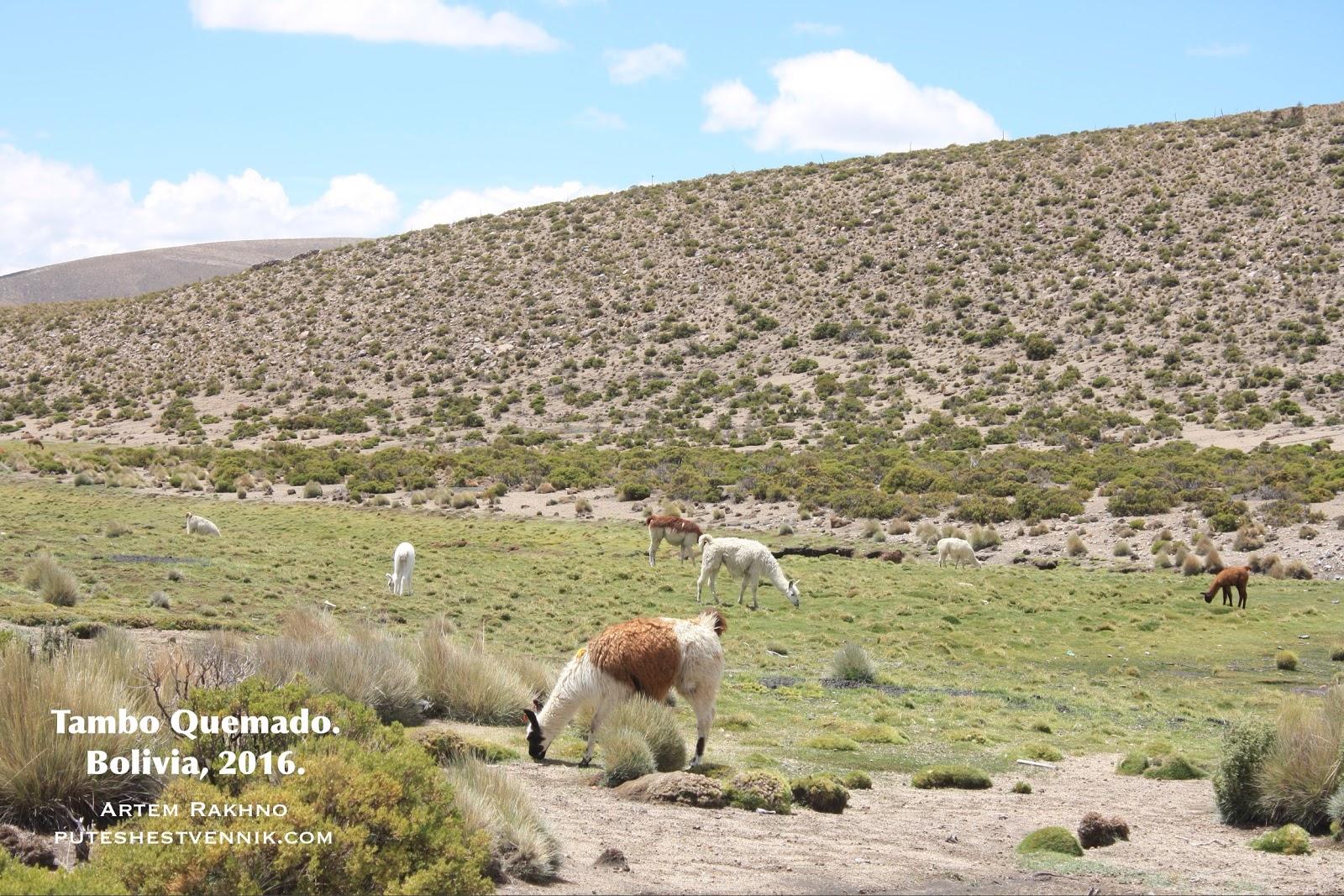 Ламы едят траву